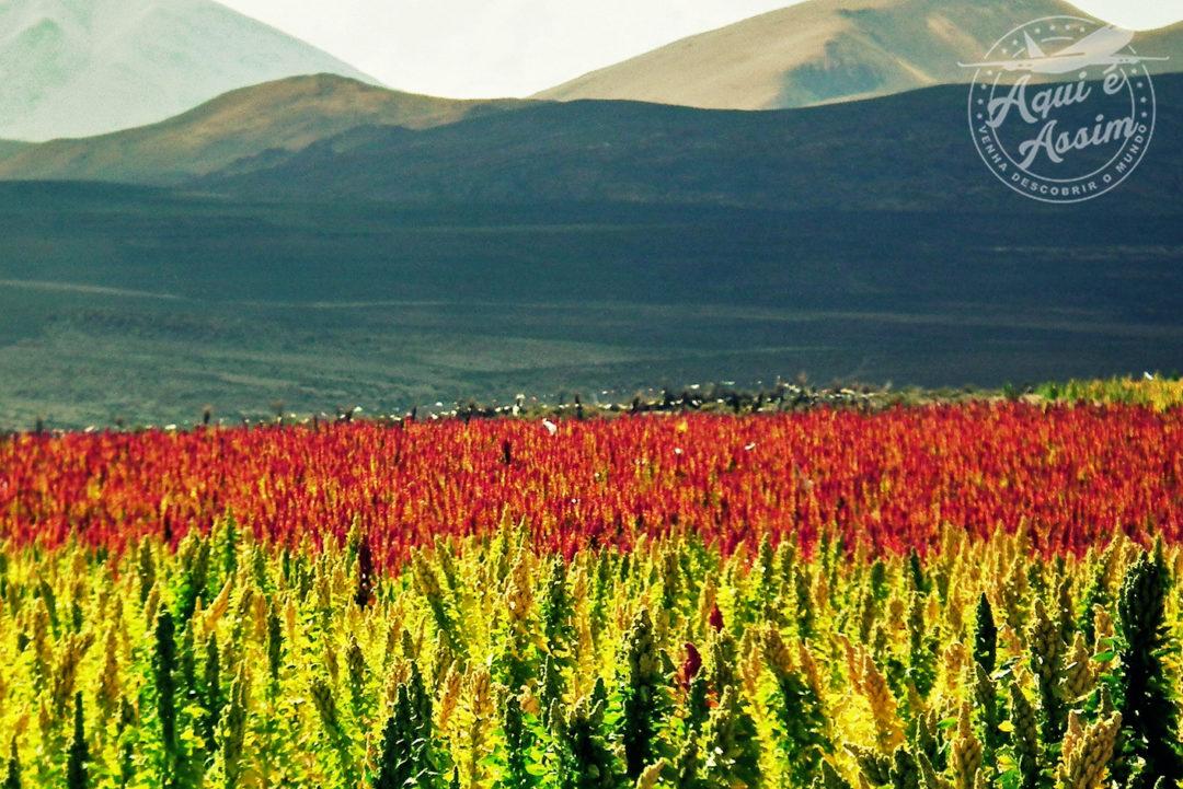 Campos de Quinoa